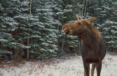 Moose in Kananaskis Country