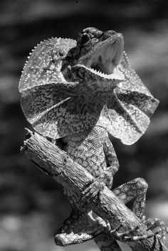 Frill-necked lizard at Randy's Exotic Pets. Nature Animals, Animals And Pets, Cute Animals, Reptiles Et Amphibiens, Mammals, Beautiful Creatures, Animals Beautiful, Vida Animal, Chameleon Lizard