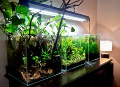 Interesting use of branches and dried leaves underwater. The dried leaves are a good environment for dwarf crayfish, such as Cambarelllus. Such a planted tank with crayfish is really very interesting. (And beautiful, too.)