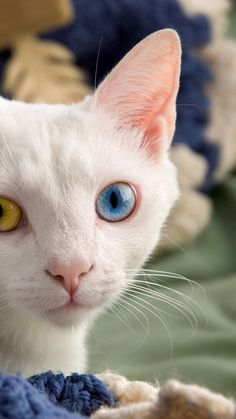 If you're going to have two different colored eyes, chances are you're a white cat. Odd-eye color is more common in white cats and has also been long prized and selected for by breeders I Love Cats, Crazy Cats, Cool Cats, Gatos Cool, Different Colored Eyes, Cat Wallpaper, Cat Names, White Cats, Blue Cats