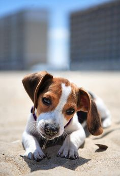 Sun Dog Jack Russell Terrier Puppy