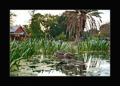 Bird life on Lake Wendouree near Piper's Restaurant