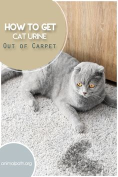 There are many reasons why cats urinate outside the litter box including stress and health issues. Some cats simply like to mark their surroundings and that leaves our homes with that distinct, Cleaning Cat Urine, Remove Cat Urine Smell, Cat Pee Smell, Cat Urine Smells, Cleaning Hacks, Cat Urine Remover, Pet Urine, Dog Pee On Carpet, Taking Cat