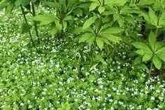 Myskmadra, Galium odoratum, blommar skirt i maj/juni med underbar doft. Passar som undervegetation på stora ytor (här med liljor från Drömparken, Enköping). Blir ca 15 cm hög. Halvskugga-skugga. Sweet Woodruff, Gras, Garden Inspiration, Evergreen, Garden Plants, Perennials, Wild Flowers, Outdoor Living, Garden Design