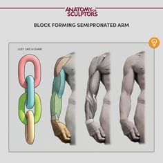 Understanding The Human Figure by Anatomy For Sculptors - Dahlia Dran Arm Anatomy, Anatomy Poses, Anatomy Drawing, Anatomy Of The Body, Anatomy Study, Human Drawing, Body Drawing, Drawing Faces, Drawing Tips
