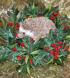 holiday hedgie