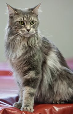 Maine Coon, blue tabby blotched ( a 22). IC Goodiva of El Dorado. Photo by #Heikki Siltala http://www.mainecoonguide.com/maine-coon-personality-traits/