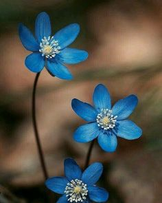 blue flower wallpaper First pin First pin Flowers Nature, Exotic Flowers, Amazing Flowers, Beautiful Roses, Pretty Flowers, Wild Flowers, Tropical Flowers, Purple Flowers, Lilies Flowers