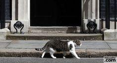 """Larry gatto """"bullo """" a Downing Street Soriano, bullo, attaccabrighe ma con un infallibile talento come cacciatore di topi... #Iloveanimals #Ilovepets #cats #LarryTheCat #FbSocialPet"""