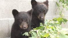 wildlife conservation officer was ordered to put down these two bear cubs after their mother was destroyed for raiding a meat freezer at a mobile home. Officer Bryce Casavant of Port Hardy, Vancouver Island, defied the order and was suspended. Black Bear Cub, Dog Food Online, Bear Cubs, Baby Bears, Mundo Animal, Wildlife Conservation, Vancouver Island, Animal Rights, British Columbia