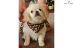 Meet Quizita a cute Pekingese puppy for sale for $400. Queen