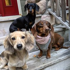 Find the best dachshund accessories for dogs. Functional and unique accessories and pet supplies specially designed for dachshunds. Dapple Dachshund, Long Haired Dachshund, Dachshund Puppies, Dachshund Love, Chihuahua Dogs, Pet Dogs, Boxer Mix Puppies, Crusoe The Celebrity Dachshund, Shelter Dogs