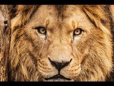O Leão (The Lion - Versão em português)