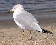 Ring-billed Gull :: Birding in San Diego :: Mission Bay birds