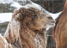 Camel in the cold