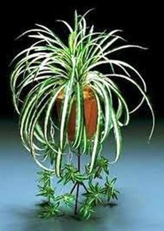 """Variegated Air Cleaning Hawaiian Spider Plant Rooted in 6"""" Hanging Pot with """"FREE"""" Shipping!!!"""