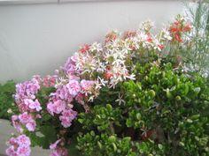 FLOWERS IN MY BALKONY