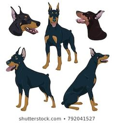 Doberman Pinscher set isolated on white background. Dobermann in different poses. European Doberman, Dog Drawings, Dog Icon, Dog Silhouette, Free Dogs, Doberman Pinscher, Drawing Reference, Pitbull, Painted Rocks