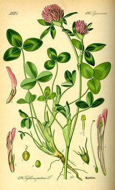 Red Clover: The leaves, flowers, seeds, and roots are all edible. Young leaves which appear in spring before the flowers appear can be eaten raw, but older leaves should be cooked. Roots should be cooked. The flowers are the best part; great raw in salads, sauteed in meals and fermented for wine. The seeds can be ground up into a flour.