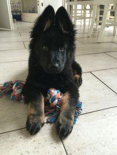 Onze oudduitse herder pup Nala, 11 weken oud. #GSD #germanshepherd