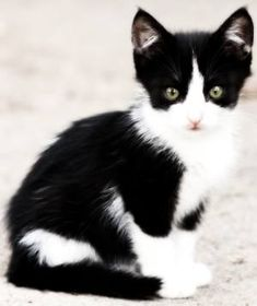 outdoor-tuxedo-kitten-300.jpg - #tiny - See More Tops Tea Cup Cat Breeds at Catsincare.com!