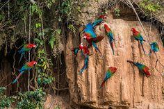 Aras macao dans la forêt amazonienne, Pérou