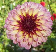Dusty rose flower with light yellow rose mauve reverse. Dahlia Flowers, Beautiful Flowers, East Of Eden, Flower Names, Herbaceous Perennials, Zinnias, Yellow Roses, Dusty Rose, Garden Plants