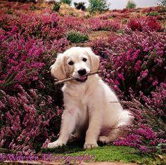 Golden Retriever Puppy and heather