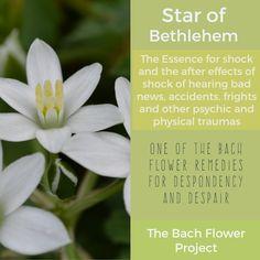 Bach Flower Remedy - STAR OF BETHLEHEM