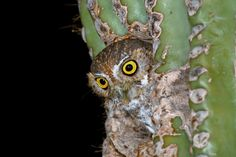 A saguaro cactus is a great nesting place for Elf owl (Micrathene whitneyi) Elf Owl, Cactus, Owls, Birds, Illustrations, Animals, Animales, Animaux, Illustration