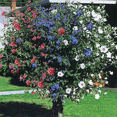 3 IN ONE ROSE OF SHARON *BLUE**WHITE*PURPLE ONE TREE 3 COLORS FLOWERING SHRUB
