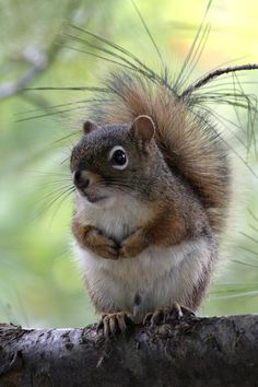 Little Susie Squirrel has lost her tail curler and has heard that Supersquirrel has found it! What a relief...she'll no longer need to use pine needles as extensions!