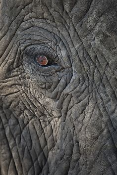 When we look into the eyes of the elephant, we should recognize nothing less than an intellectual equal ♥ Ferris Jabr The Eye