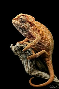 √ 5 Different Types of Chameleons – Tiere – Reptilien Reptiles Et Amphibiens, Cute Reptiles, Reptiles Preschool, Animals And Pets, Funny Animals, Cute Animals, Wildlife Photography, Animal Photography, Types Of Chameleons