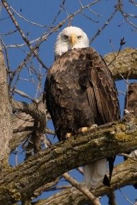Bald eagle, ©Wes Gibson:  Get the lead out!