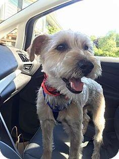SAFE - Newtown, CT - Thank Dog Rescue, Schnauzer (Miniature)/Yorkie, Yorkshire Terrier Mix. Meet Banjo, a dog for adoption. http://www.adoptapet.com/pet/13473741-newtown-connecticut-schnauzer-miniature-mix