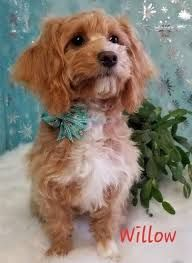 Maltipoo Dachshund Mix Google Search Doxiepoo Dachshund Mix