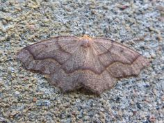 #Photo de #papillon : #Arpenteuse de la #pruche - #Lambdina fiscellaria - #Mournful thorn - #Hemlock looper