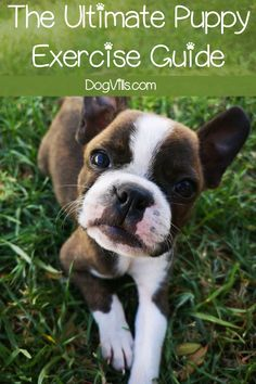 The Ultimate Puppy Exercise Guide - How much exercise does a puppy need? What are some good puppy workouts? Find out these answers and more in our ultimate puppy exercise guide! Training Your Puppy, Dog Training Tips, Training Exercises, Best Puppies, Dogs And Puppies, Puppies Tips, Pomsky Puppies, Husky Puppy, Dog Minding