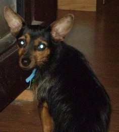 Yorkie Miniature Pinscher Mix Gone to the Dogs