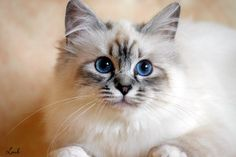 Seal Silver Tabby Point Birman cat