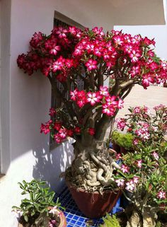 Adenium - a truly stunning and large specimen. Take a number of years to get it this size and thicken up nicely. I also really love this color on the single layered flowers.  I have about 250 seeds of various 'desert rose' hybrids I'll be starting shortly to train as bonsai.  They should be fun and are all different colors.