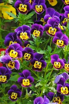 pansies - The little faces have always been a favorite, among flowers. The pansies that don't have faces are beautiful, too. Purple Flowers, Beautiful Flowers, Happy Flowers, Johnny Jump Up, Purple Home, Purple Yellow, Ikebana, Dream Garden, Herb Garden