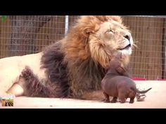 Bonedigger, a five-year old male lion, and Milo, a seven-year old Dachshund dog, have been inseparable over the past five years at a zoo Park in Oklahoma. Unusual Animal Friendships, Unusual Animals, Animals Beautiful, Beautiful Cats, Beautiful Pictures, Wild Animals Attack, Animal Attack, Animals And Pets, Funny Animals