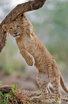 sdzsafaripark: Lion cub by Darrell Ybarrondo