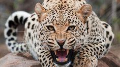leopard image | Leopard Screaming HD Wallpaper » FullHDWpp - Full HD Wallpapers ...