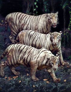 have blue eyes, a pink nose, and creamy white fur covered with chocolate colored stripes. White tigers are born to tigers that carry the unusual gene needed for white coloring. Wild white tigers are rare species.
