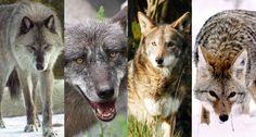 MIXED UP Eastern wolves (second from left) and red wolves (second from right) might be better described as mixtures between gray wolves (far left) and coyotes (far right) rather than distinct species, a new genetic analysis suggests. ~~ FROM LEFT Dennis Matheson/Flickr (gray wolf); Steffen239/Flickr (eastern wolf); Christine Majul/Flickr (red wolf); Mav/Wikimedia Commons(coyote)