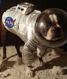 Echo, The Astronaut.. Boston Terrier