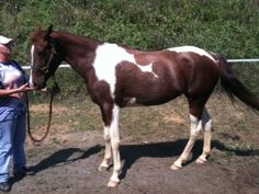 Splash, 8 year old National Show Horse mare at Hope for Horses in North Carolina